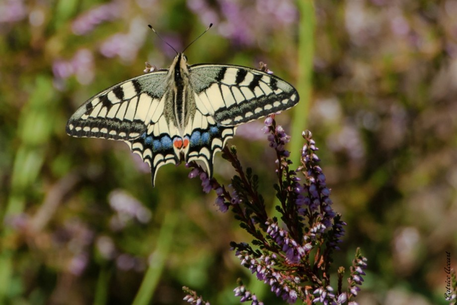 Machaon Grand Porte Queue